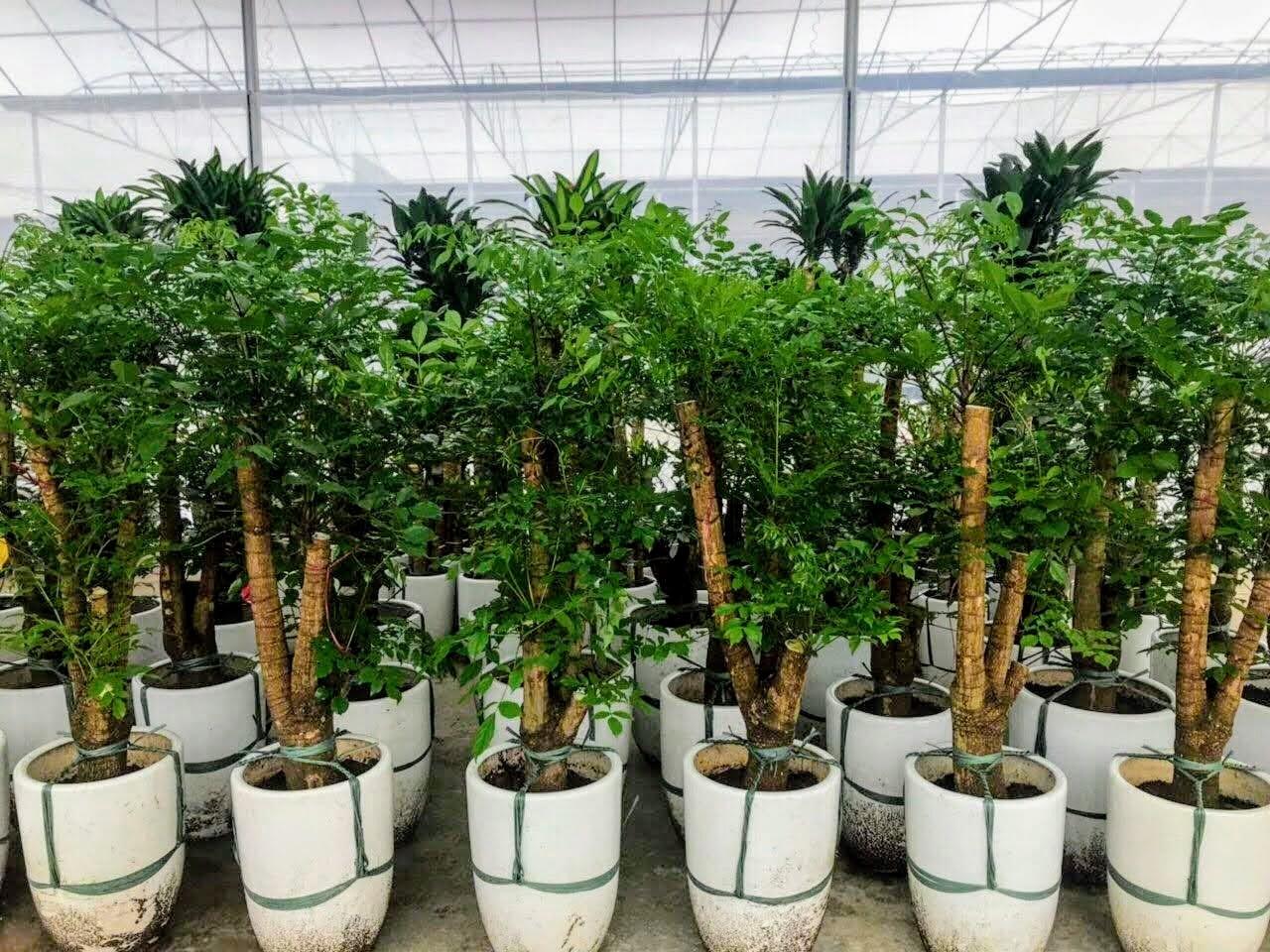 Cây Hạnh Phúc – Cây xanh Gia huy